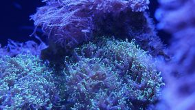 Corales suaves en acuario Corales del primer Anthelia y de Euphyllia en agua azul limpia Vida subacu?tica marina violeta metrajes