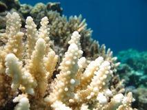 Corales suaves en agua azul clara Fotografía de archivo