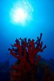 Corales suaves rojos Imagenes de archivo