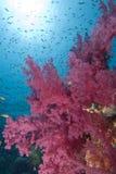 Corales suaves vibrantes Imagen de archivo libre de regalías