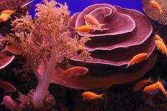 Corales y pescados de Mar Rojo subacuáticos Imágenes de archivo libres de regalías