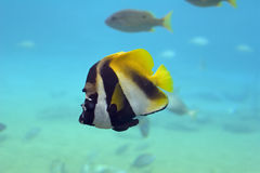 Coralfish. (Chelmon rostratus) swimming over coral reef Royalty Free Stock Image