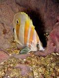 Coralfish Anaranjado-congregado Fotografía de archivo libre de regalías