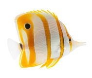 coralfish copperband butterflyfish клюва изолировало Стоковые Изображения