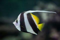Coralfish de fanion (acuminatus de Heniochus) image stock