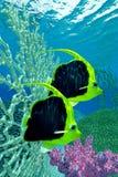 Coralfish del banderín Foto de archivo libre de regalías