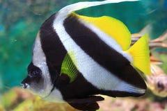 Coralfish del banderín Imágenes de archivo libres de regalías