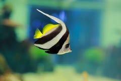 Coralfish del banderín Imagenes de archivo