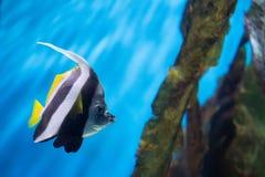 Coralfish del banderín del Mar Rojo Imagen de archivo libre de regalías