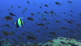 Coralfish del banderín en sopa de los pescados en el océano cerca de las islas de las Islas Galápagos