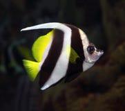 Coralfish del banderín subacuáticos Imágenes de archivo libres de regalías