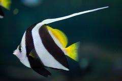 Coralfish dello stendardo (heniochus acuminatus) Fotografie Stock Libere da Diritti