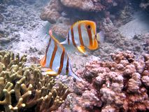 Coralfish rostré Photographie stock