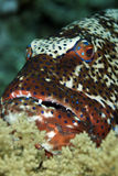 Coralgrouper. Taken in the red sea stock photography