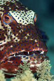 Coralgrouper. Taken in the red sea royalty free stock image
