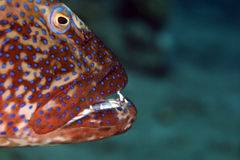 Coralgrouper. Taken in the red sea stock photo