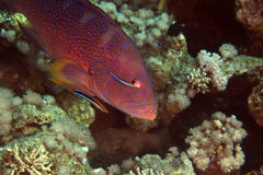 Coralgrouper and cleaner wrasse in de Red Sea. Stock Photo