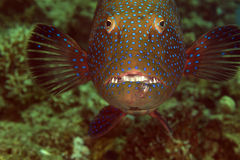 Coralgrouper close-up in the Red Sea. Coralgrouper close-up in the Red Sea stock images