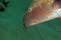 Coralgrouper close-up in the Red Sea. Coralgrouper close-up in the Red Sea stock photography