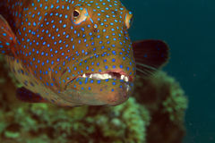 Coralgrouper close-up in the Red Sea. Stock Photos