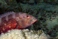 Coralgrouper (plectropomus pessuliferus). Coralgrouper in the Red Sea stock photos