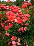 Coralin Rosa Fotografia de Stock
