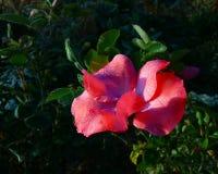 ` Coralino de la alfombra de la flor del ` de Rose con los web y el rocío fotos de archivo