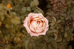 Corall сметанообразное подняло умирающ в саде осени О поднял Унылое настроение падения Вянуть розы в падении Винтажный насыщенный Стоковое Изображение