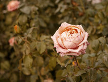 Corall creamy rose dying in autumn garden. Wilted rose. Sad fall mood. Wilting roses in fall. Vintage low saturated Royalty Free Stock Image