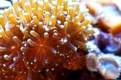 Corall di Euphyllia Fotografia Stock Libera da Diritti