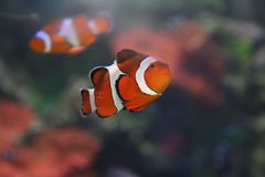 Corall fish. Tropical fish, Amphiprion sebae, Klown-fish Stock Photography
