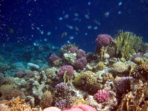 Corall reef and fish Royalty Free Stock Images