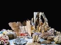 Coralli Fotografie Stock Libere da Diritti