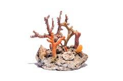 Korallenrotes versteinertes Shell Corallo Conchiglia Fossile Lizenzfreie Stockbilder
