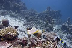 Coralli australiani, piante, creature subacquee, pesce variopinto immagine stock libera da diritti