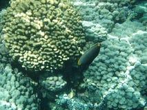 Coralli del mare Fotografia Stock