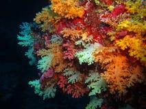 Coralli molli Fotografia Stock Libera da Diritti