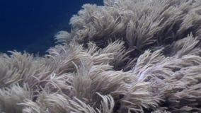 Coralli molli bianchi su fondo blu subacqueo in oceano di fauna selvatica Filippine stock footage