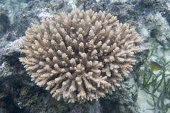 Coralli nel mare delle isole di Togian Immagine Stock