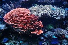 Coralli rosa e bianchi all'acquario di Seattle Immagini Stock