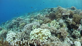 Coralli sani che crescono sulla secca di Wakatobi stock footage