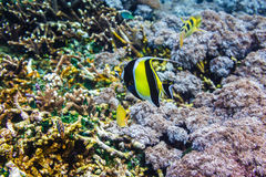 Coralli subacquei e bello pesce tropicale nell'Oceano Indiano Fotografie Stock Libere da Diritti