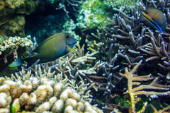 Coralli subacquei e pesce tropicale nell'Oceano Indiano Fotografia Stock Libera da Diritti