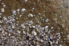 Coralli sulla roccia Immagine Stock