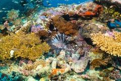 Coralli variopinti con il lionfish nell'Oceano Indiano fotografie stock libere da diritti