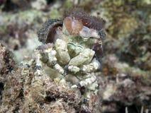 Corallimorph decorator crab. In Bohol sea, Phlippines Islands Royalty Free Stock Photos