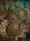 Corallimorphs royalty-vrije stock foto's