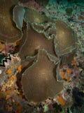 Corallimorphs royalty free stock photos
