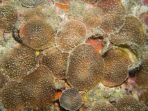 Corallimorphs Stock Photo