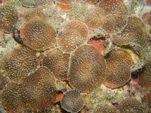 Corallimorphs stock photo